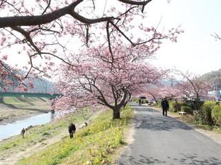みなみの桜2.jpg