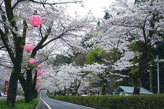 桜トンネル17.jpg