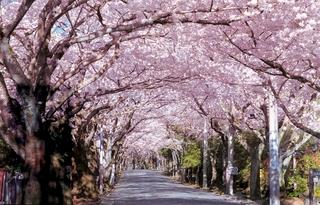 桜並木(08版トンネル)[1] 伊東市 12月号.JPG