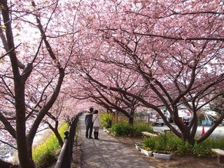 温泉会館裏の桜並木.jpg