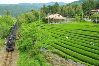 茶畑.jpg