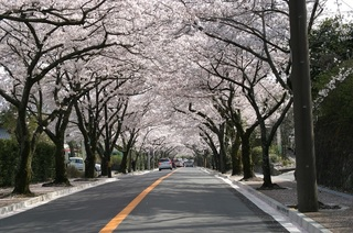 izukougensakuranamiki 伊東市.jpg